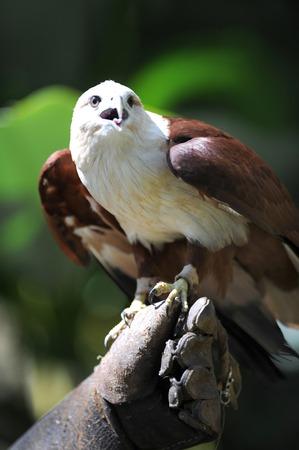 A close up shot of a wild Sea Hawk photo