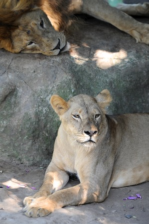 A shot of of an African Lion in the wild photo