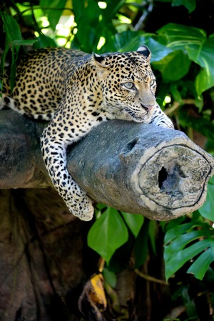 A close up shot of an African Leopard Stock Photo