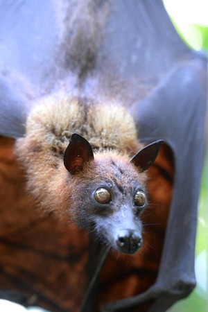 A close up Shot of an Australian Flying Fox photo