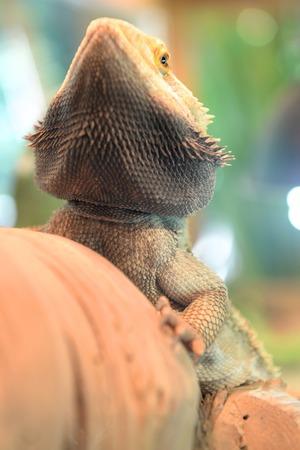 bearded dragon lizard: A close up shot of a Bearded Dragon Lizard Stock Photo
