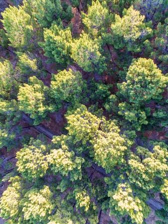 A aerial drone photo of a pine plantation Stock Photo