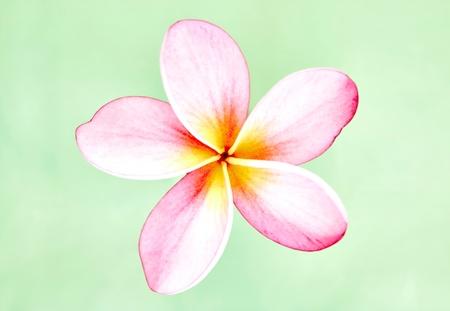 A studio photo of Frangipani flowers