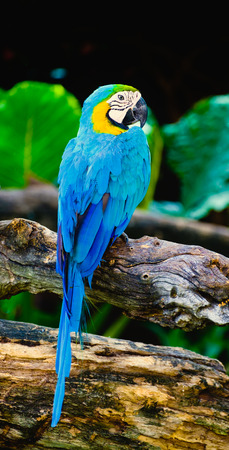 rostrum: Close up of blue and yellow Macaw  parrot or Ara ararauna is native to Mexico and South America. Stock Photo