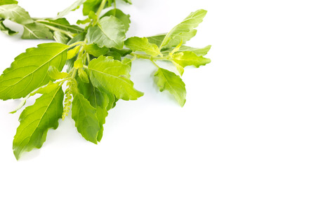 Hot basil leaves or Holy basil on white background