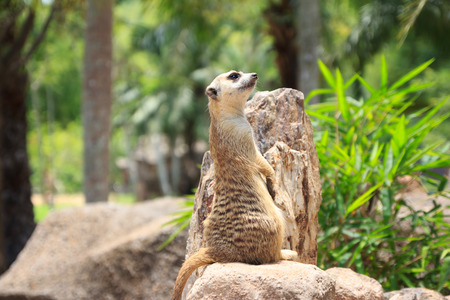 upright: A Meerkat Standing Upright And Looking Alert Stock Photo
