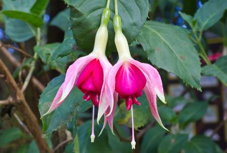 flores fucsia: Dos flores de color fucsia en el jard�n