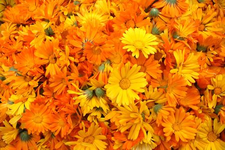 Great Number of Orange Calendula