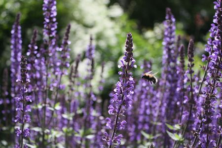 lavender coloured: Flying Bumblebee in the Lavender Glade