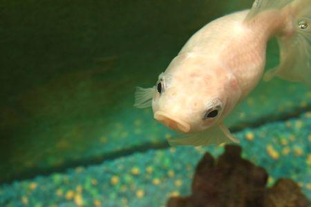 Big Fish in Aquarium Stock Photo - 4945590