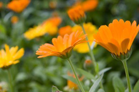 ringelblumen: Blooming Orange Ringelblumen im Garten