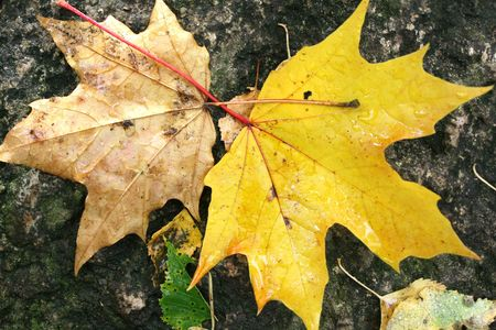 Yellow Leaves on Old Stone photo