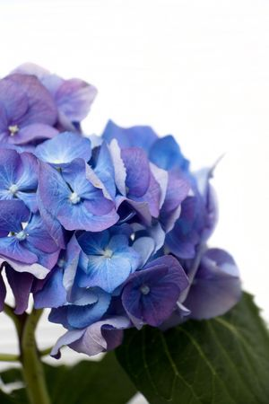 sepal: Flowers of blue hydrangea  Stock Photo
