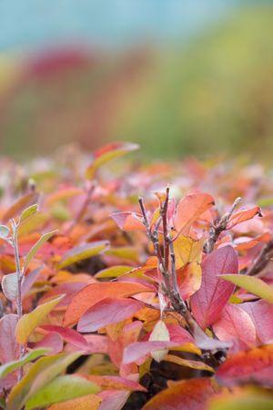 red bush: Autumn red bush in the park Stock Photo
