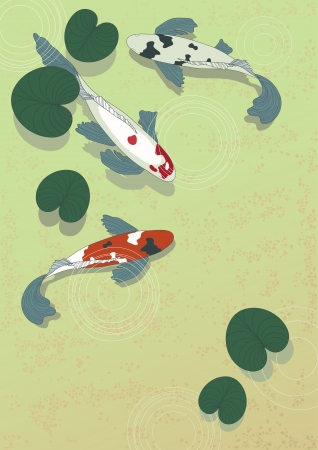 koi fish pond: Three carps in transparent water