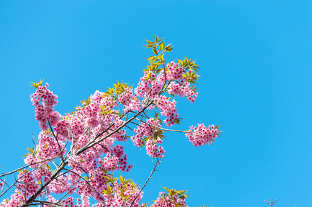 prunus: Prunus Chiang Mai Thailand