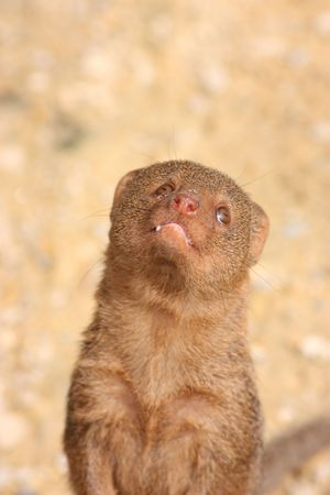 mongoose smiling Stock Photo