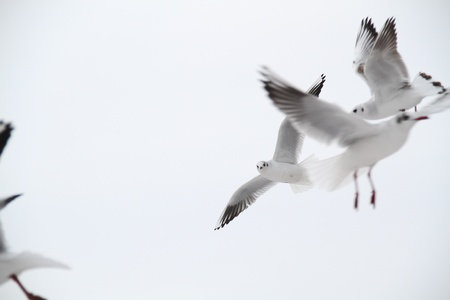 hovering: a flock of seagulls flying around looking for food