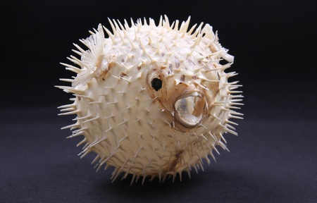 puffed: skeleton pufferfish puffed up on a black background Stock Photo