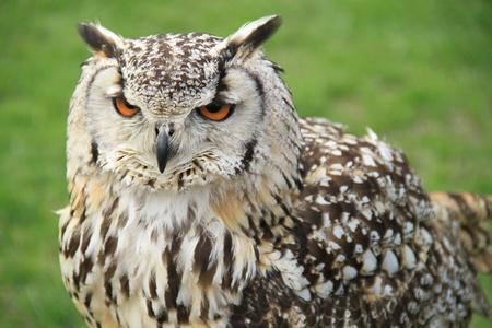 eurasian owl perched with a grass background looking to left of the image