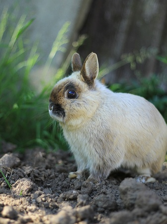 A small netherland dwarf rabbit stops and looks around. Image captures the rabbit in full focus and great depth of field on the surroundings