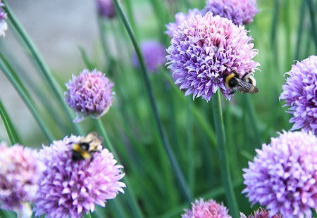 image of some busy bees  collecting pollen from purple flowers of a chive plant