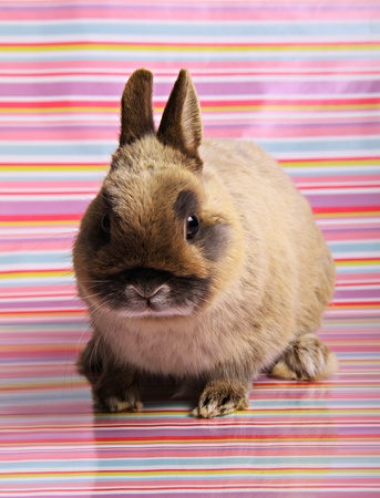 a small netherland dwarf rabbit sits looking at the camera on a coloured stripy background. Stock Photo