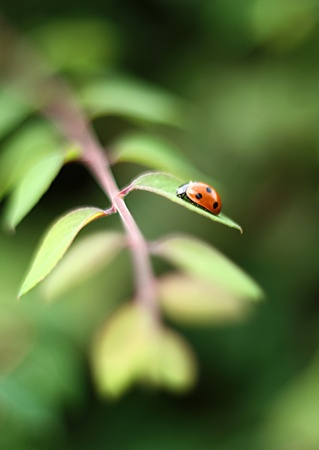 directed: lonely lady bird sat on a leaf of a plants in daylight. image has a massive depth of depth with the focus soft and directed at the ladybird at F0. Stock Photo