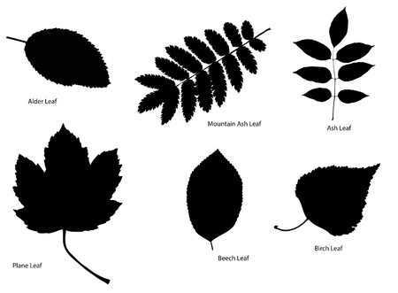 Six different kinds of tree leaf silhouettes  Alder leaf, plane leaf, mountain ash leaf,beach leaf, ash leaf, birch leaf  Eps V10