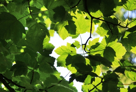 Image of leaves in a tree in the English summer,
