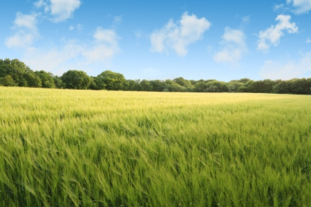 Perfect scene of a an English summer wheat field just ready for harvest, vivid colours make this ideal for summer selling points  Stock Photo