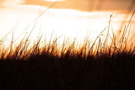 shot of silhouetted grass through a golden sunset  Stock Photo