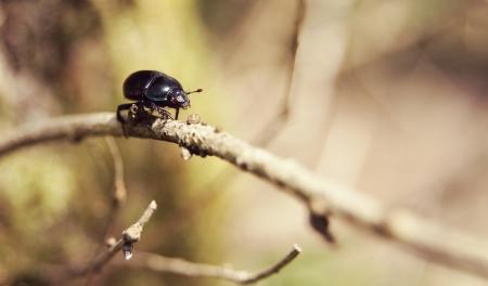 Dor Beetle walking along a twig in its natural habitat