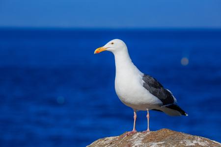 17: Seagull at the Beautiful 17 mile coastline