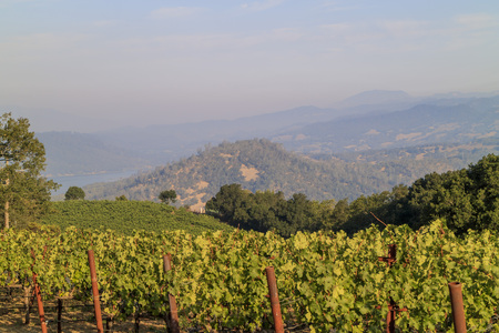 napa valley: The grapes farm of Napa Valley, sunset time