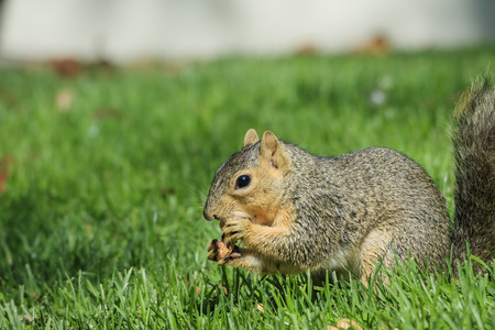 squirrel isolated: Cute squirrel eating food on ground Stock Photo