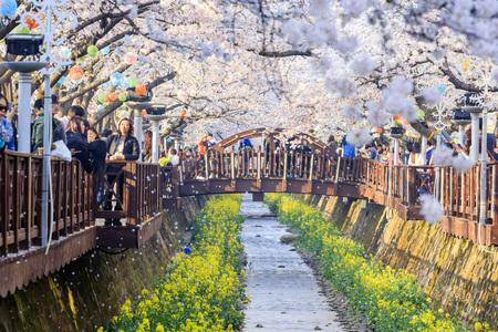 Take a trip to South Korea, for the beautiful Sakura flowers