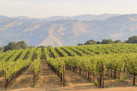 De druiven boerderij van Napa Valley, zonsondergang tijd