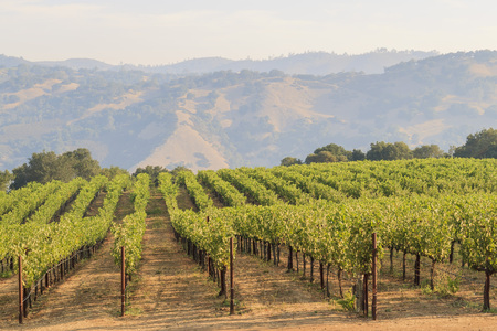 The grapes farm of Napa Valley, sunset time