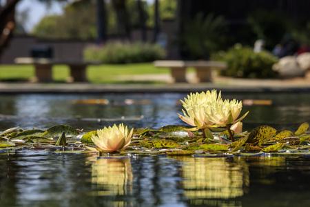 balboa: Yellow Nymphaea and great reflection at Balboa Park Stock Photo