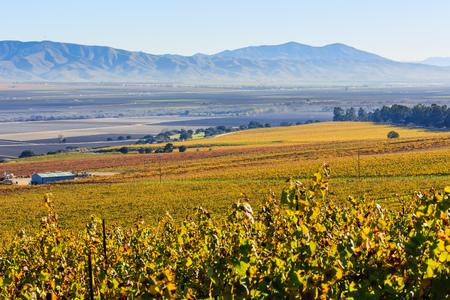 Grapes at Salinas Valley