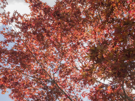 backlight: Many red leaf on the tree with backlight at morning Stock Photo