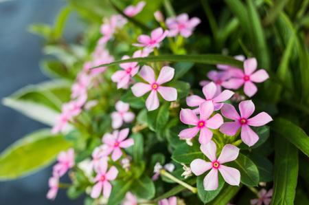 balsam: Beautiful balsam flowers blossom at Taipei City