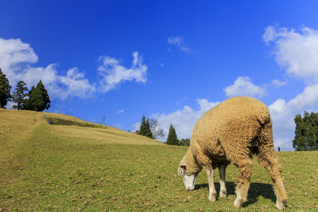 Sheep and grasses field at Chingjing, Taiwan on a sunny day