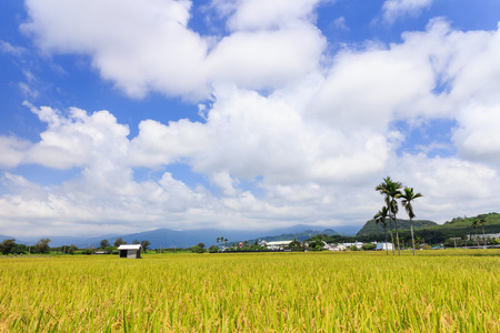 bluesky: Golden paddy field at morning in Taitung, Taiwan