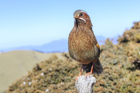 garrulax: The white-whiskered laughingthrush Garrulax morrisonianus is a species of bird in the family Timaliidae, the babblers. It is endemic to the island of Taiwan.