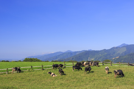 dairy cattle: Dairy cattle eating grass at morning in Taitung, Taiwan