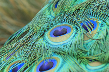 los angeles county: Beautiful peacock walking around at Los Angeles County Arboretum & Botanic Garden