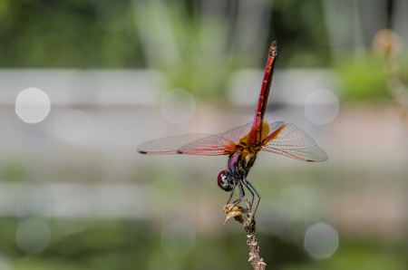 crocothemis: Crocothemis servilia servilia resting on a plant, photo taken in Taiwan