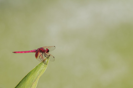 libellulidae: Crocothemis servilia servilia resting on a plant, photo taken in Taiwan